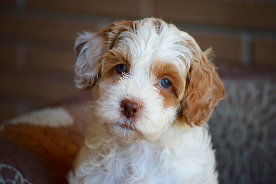 Upcoming Australian Labradoodle Litters