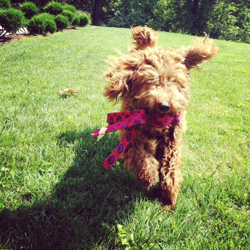 Tennessee's original triple accredited Australian Labradoodle